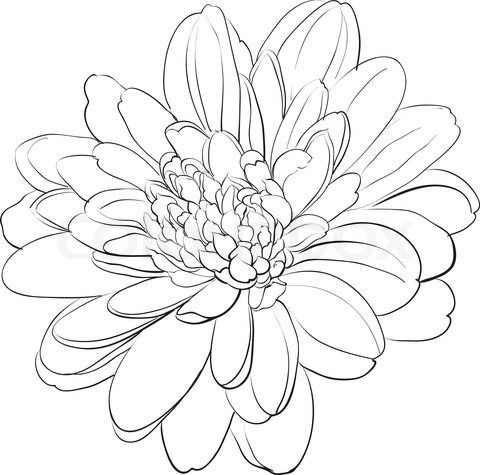 Chrysanthemum Drawings for Tattoos | Japanese Chrysanthemum Drawing Stock vector of 'chrysanthemum