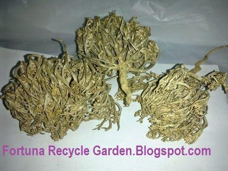 Rumput Fatimah Manfaat Dan Risiko Bagi Wanita Hamil Versi 25 Jenis Nama Nama Kayu[3] | Fortuna Recycle Garden | #Reduce #Reuse #Recycle | Modern &Traditional Health Tips / Menus