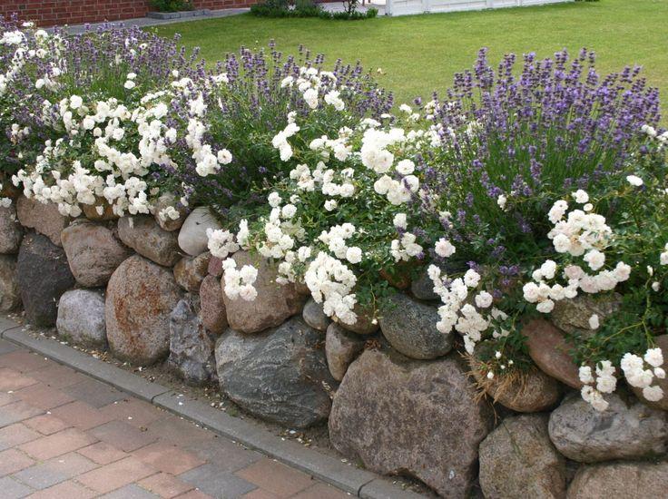 Lavendel 'Hidcote Blue' / 'Strain' – Lavandula angustifolia &#39… – Gartenmauer