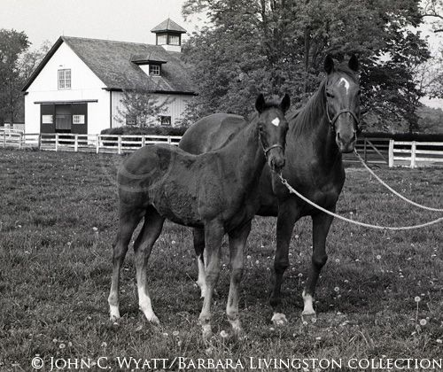 Gay Hostess by Royal Charger out of Your Hostess who was by Alibhai and out of Boudoir II. Gay Hostess was dam of dual classic winner Majestic Prince (by Raise a Native). Shown with her 1969 foal Crowned Prince (champion two year old colt in England) ,a full bother to Majestic Prince. Gay Hostess is also the third dam of dual classic winner Real Quiet.