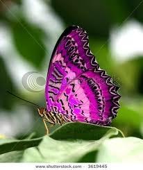 Purple butterfly <3<3<3