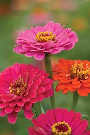 ~~ Zinnia 'Giant Dahlia Mix' ~~  I LOVE  zinnias. They make terrific bouquets.