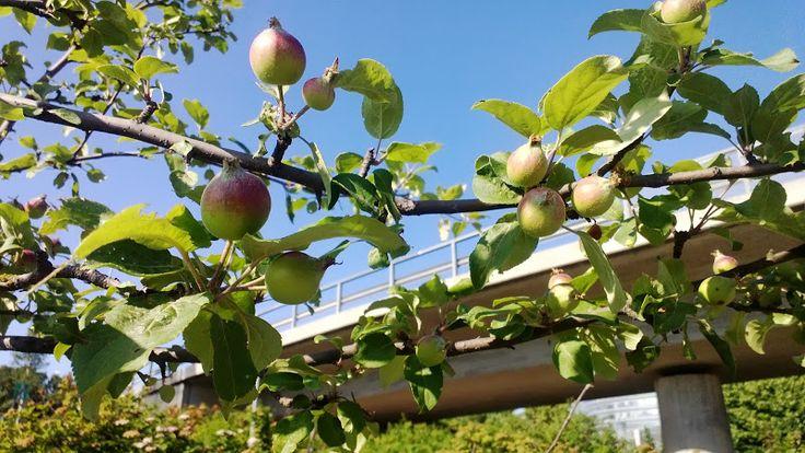 Apple tree near my office