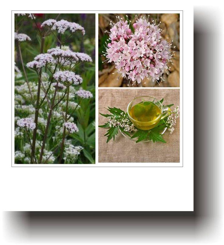 Plante medicinale – VALERIANA