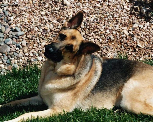 Maybe my dad would let me get him a  German Shepard for the farm?