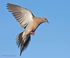 Image result for Mourning Dove