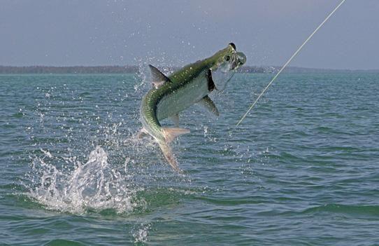 Tarpon on the hook