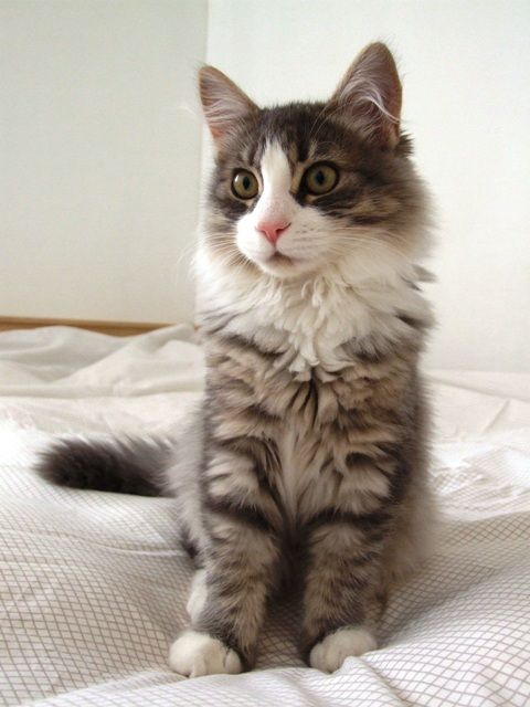 Tips for Finding the Right Hypoallergenic Cat