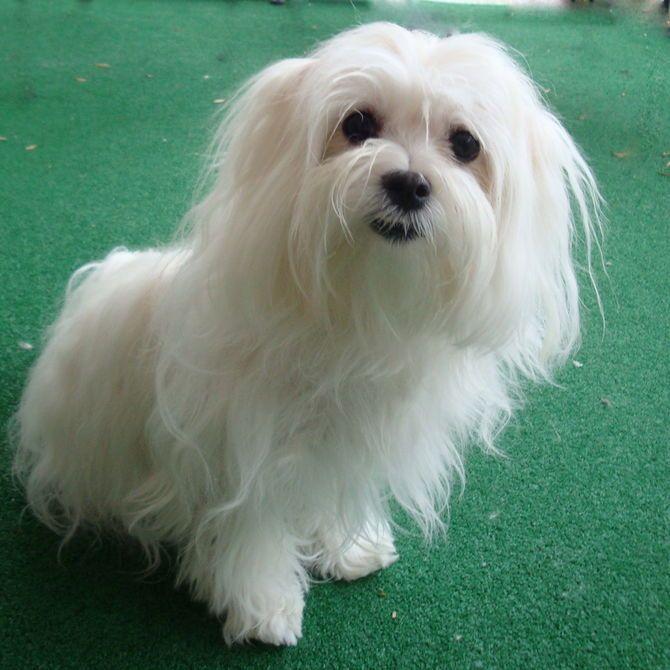 Care For A Maltese Dog Maltese Dogs Maltese Dogs