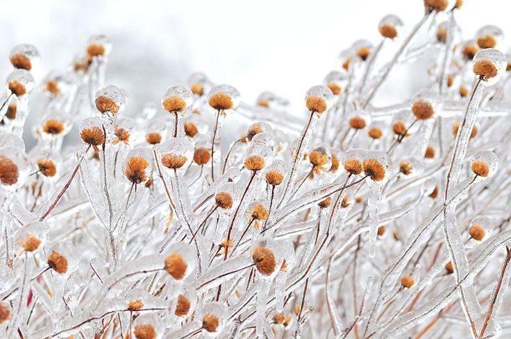 Frozen flowers (by Mihai Sararu)