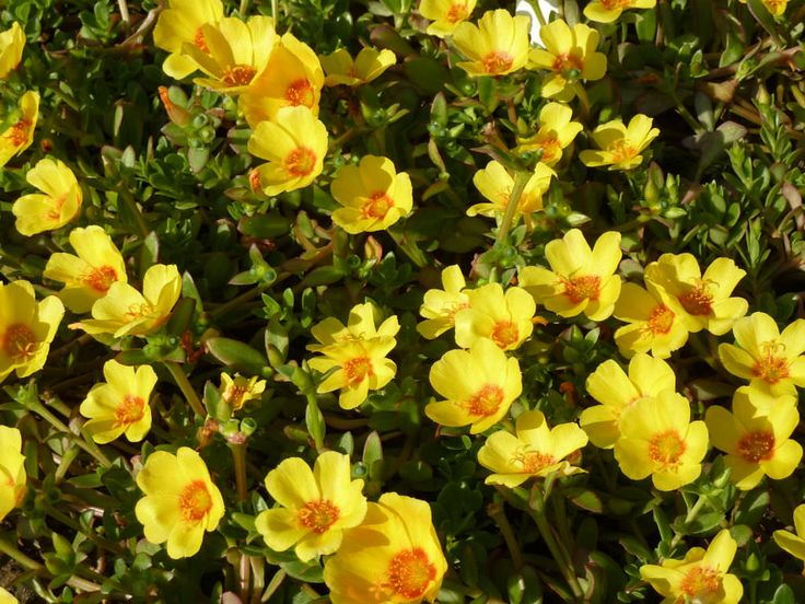 1000 Images About Portulaca On Pinterest Gardens Names
