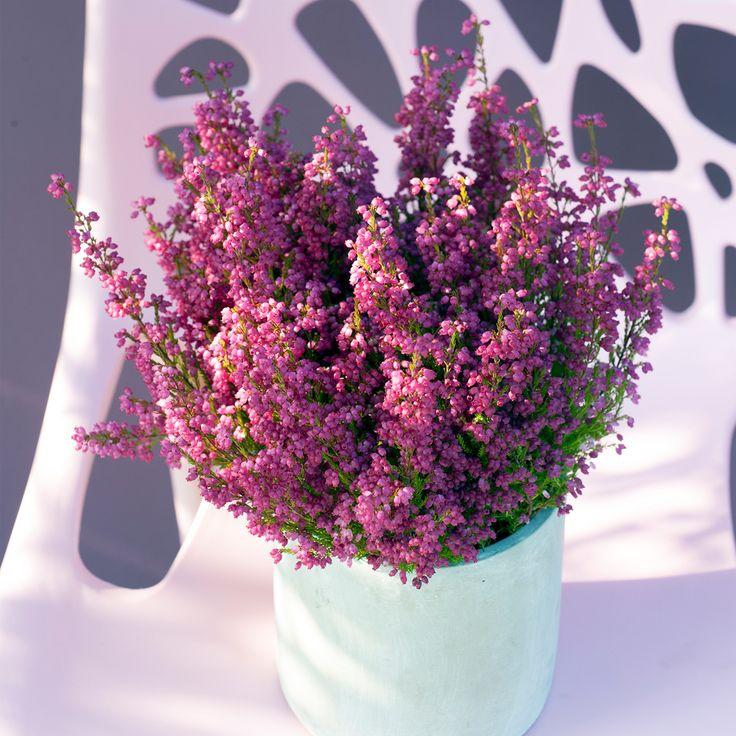 Frische Farben kommen in den winterlichen Garten mit der Winterheide.