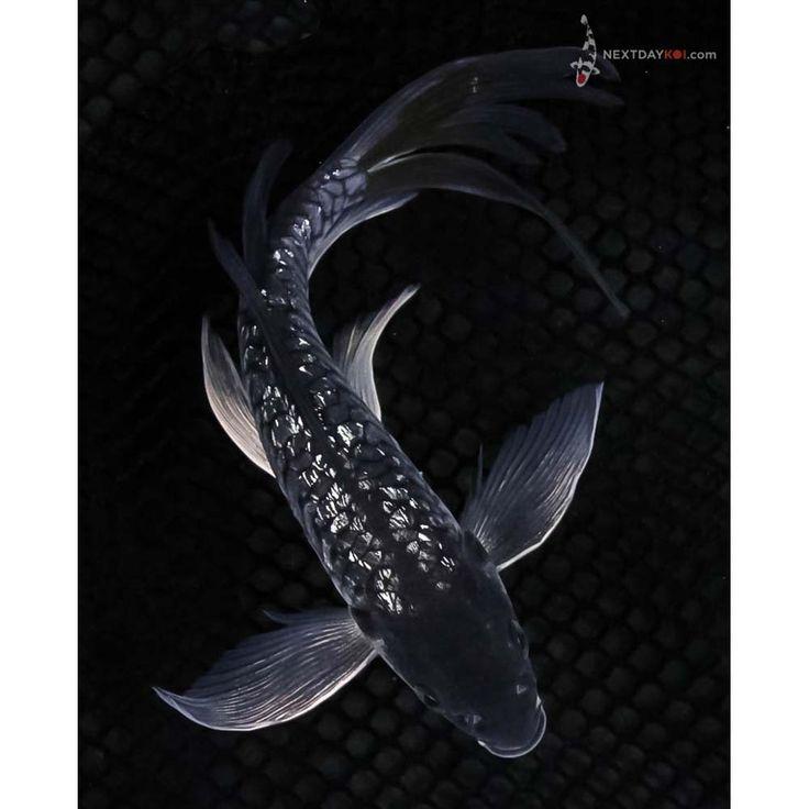 "8"" Gin Rin Armor Scaled Soragoi Butterfly Koi | Koi Fish For Sale"