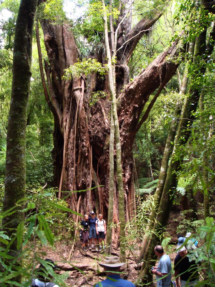 A majestic Rata Tree. Photo taken by David Walmsley.