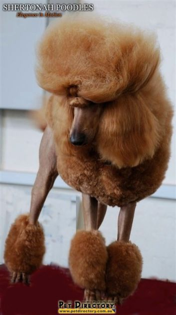 "Red Standard Poodle // AUST CH Shertonah Love N Kisses ""Amy"" // Shertonah Poodles"