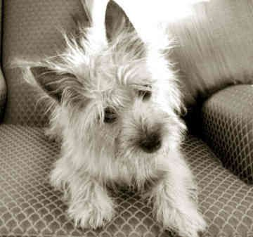 Cairn Terrier. They are members of the terrier group. They are great fox, rat, and otter hunter. They stand at 10 inches at the shoulder and weigh about 14 pounds.