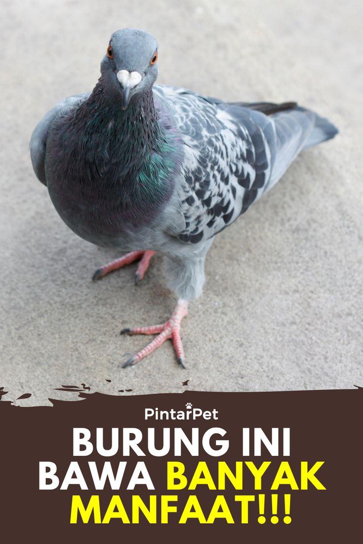 Inilah Manfaat Burung Dara Atau Merpati Burung Hewan Merpati