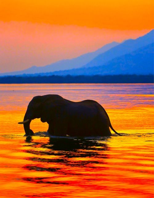 African Elephant makes his way gently through the river during the hot summer ... ♥                                                                                                                                                                                 More