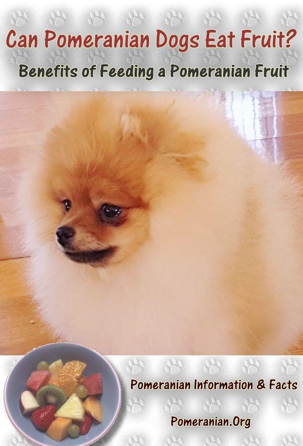 Can Pomeranian Dogs Eat Fruit Pomeranian Dog Dogs Pomeranian