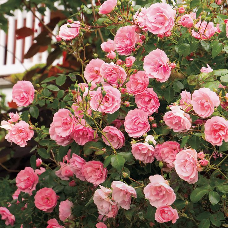 The Fairy Shrub Rose: has been grown successfully in Mid-Atlantic climate