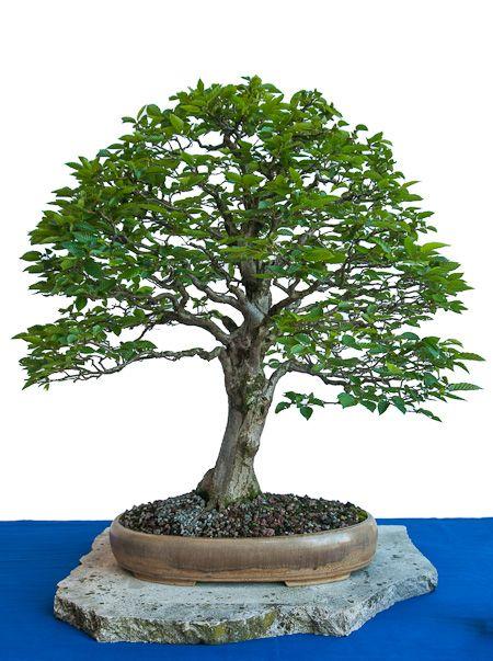 25 trendige bonsai baum ideen auf pinterest bonsai baum arten bonsai und eintausend jahre. Black Bedroom Furniture Sets. Home Design Ideas