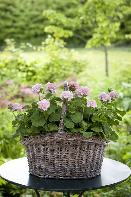 """Bring in a wicker basket (preferably at least 12"""" round) and convert a hanging basket to a Mother's Day Planter"""