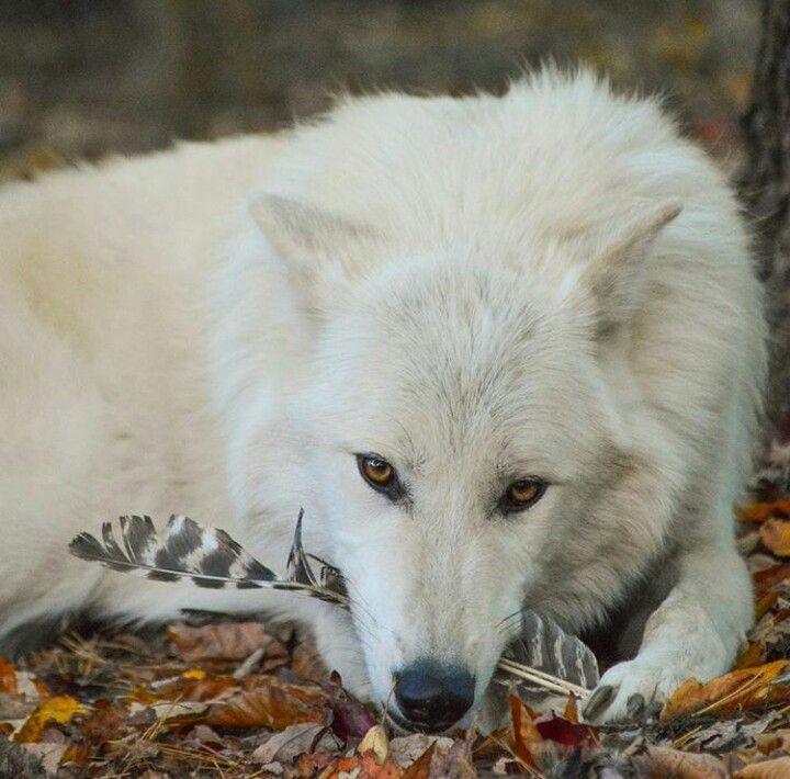 El lobo artico