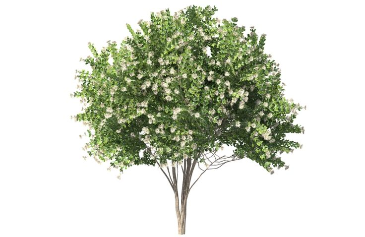 This is a beautiful 3D Natchez White Crape Myrtle Tree