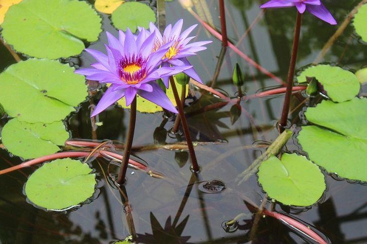 Características de una planta acuática - https://www.jardineriaon.com/caracteristicas-una-planta-acuatica.html #plantas