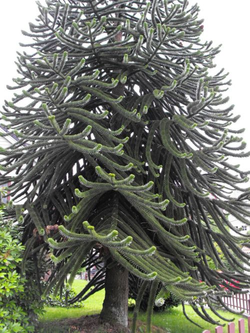 opticoverload: Monkey Puzzle Tree, Bergen, Norway They grow here too…….related to Norfolk Island Pine