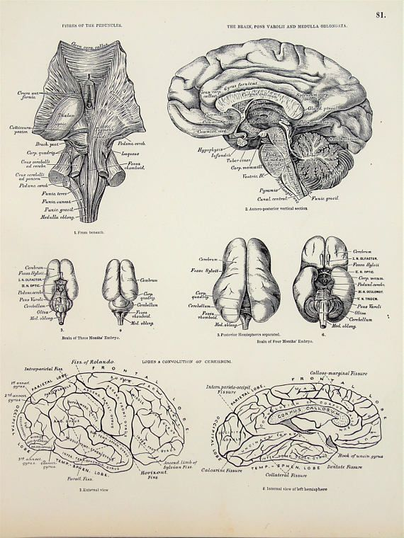 Nervous System Head Brain Spinal Column 1880s Antique