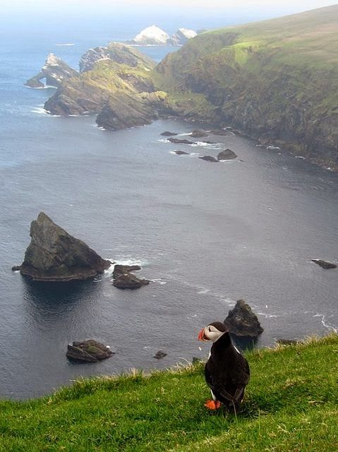 Puffin Admiring The View - Hermaness, Northern Shetland Islands, Scotland