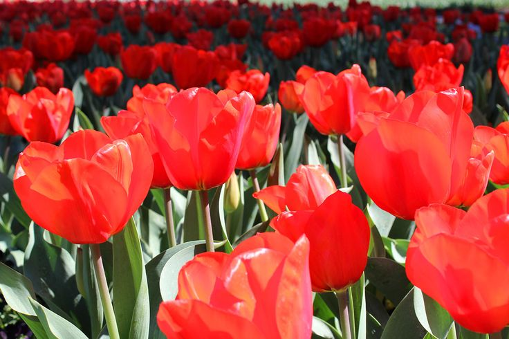 It showcases one million flowers in bloom throughout Canberra's Commonwealth Park and entry is free.