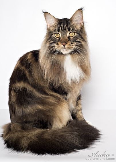 Maine Coon, Black Tabby Blotched & White (n 09 22). SaraJen Woodford Reserve