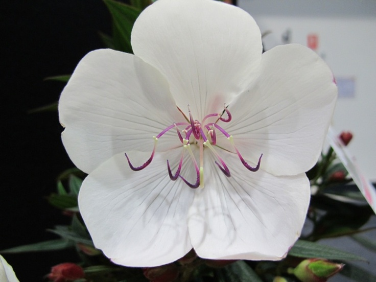 The new dwarf white Tibouchina     www.hortiman.com