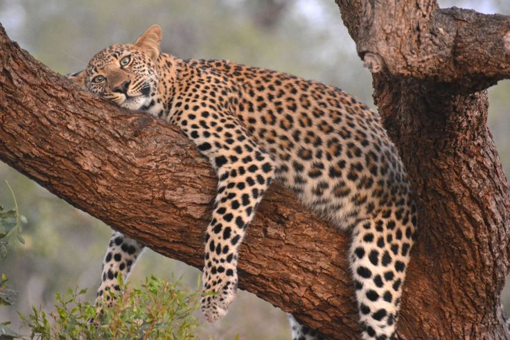 Leopard in Manyeleti, South Africa. #Leopard #Manyeleti #GreaterKruger #KhokaMoyaCamp #AlbatrosTravel #HenryRasmussen