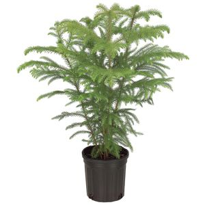 Norfolk Island Pine plant care and watering suggestions.