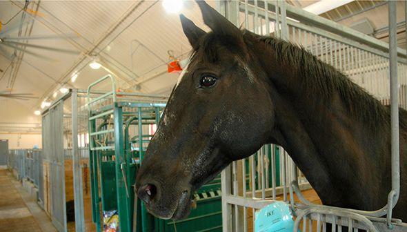 Animal du mois de juillet - Bonjour! Je m'appelle Ike. Je suis un cheval de la Gendarmerie royale du Canada (GRC) à la retraite. Avant de vivre à la ferme, j'ai passé de nombreuses années à voyager au pays et à l'étranger avec le célèbre Carrousel de la GRC.