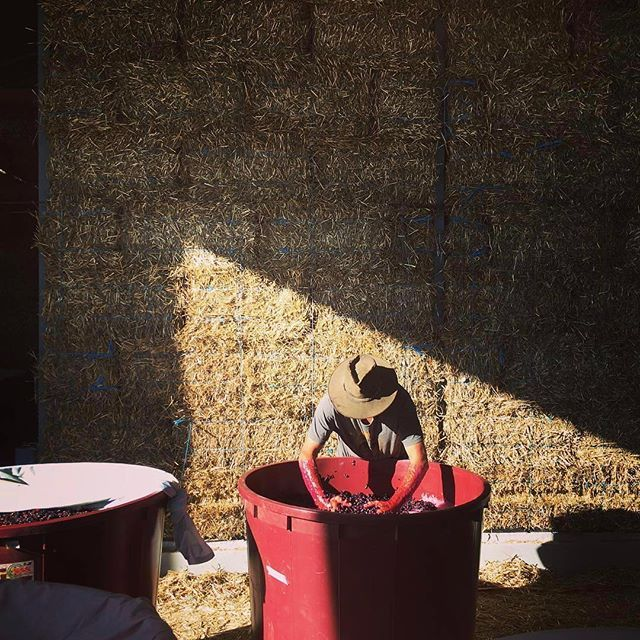 Smallfry Wines have the perfect spot in the sun for an early morning plunge of their Tempranillo. It's a busy time at @smallfrywines, with the winery straw bale walls due to be rendered soon.