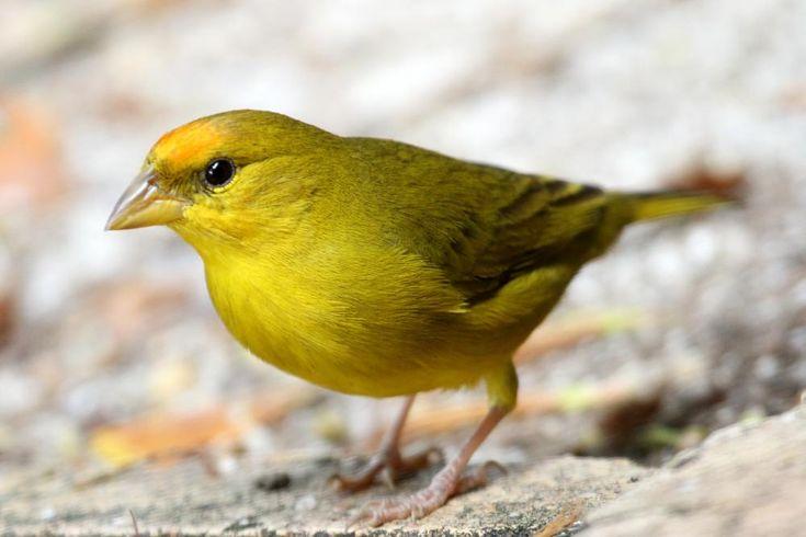 Orange-fronted Yellow-finch (Sicalis columbiana) videos ...