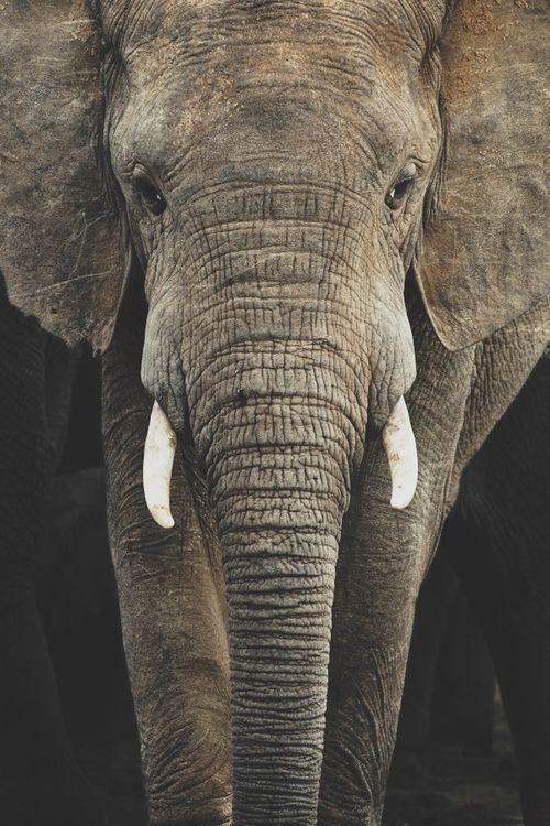 Hier zie je een duidelijkere foto van een olifant, waar de ruwe huid goed zichtbaar is. De olifant heeft dus een ruwe structuur.