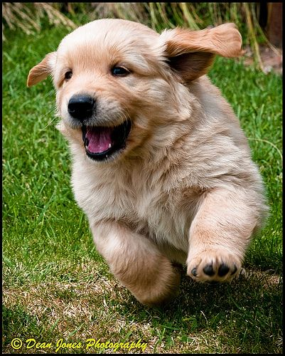 189 best images about Simply Golden Puppies on Pinterest ...
