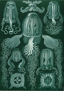 """""""Cubomedusae"""", from Ernst Haeckel's Kunstformen der Natur, 1904. Although the venomous species of box jellyfish are almost entirely restricted to the tropical Indo-Pacific, various species of box jellyfish can be found widely in tropical and subtropical oceans, including the Atlantic and east Pacific, with species as far north as California, the Mediterranean (e.g., Carybdea marsupialis) and Japan (e.g., Chironex yamaguchii), and as far south as South Africa  and New Zealand"""