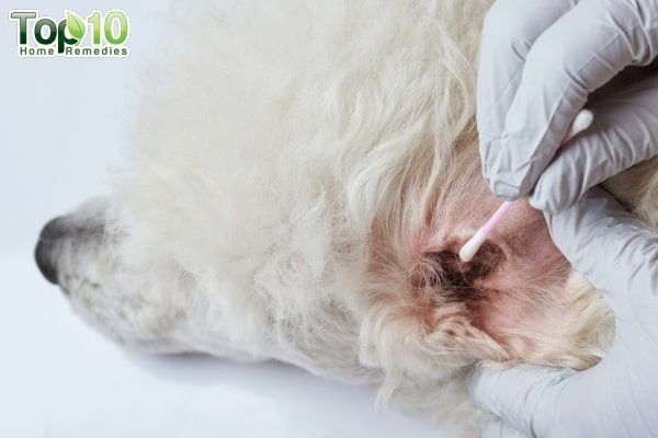 Home Remedies For Ear Mites In Dogs Top 10 Home Remedies Dog Ear Mites Dog Remedies Mites On Dogs