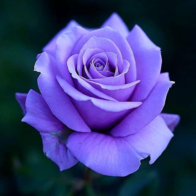 Lovely Purple Rose Beautiful Rose Flowers Purple Roses Purple