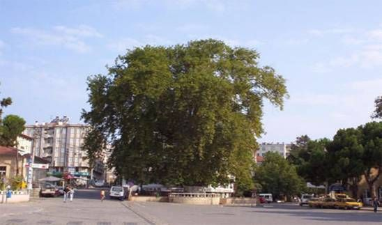 """ÜNYE TARİHİ YERLERİ VE YAPILARI - yesilcennetunye - Fatih Sultan Mehmet'in (-Lala burası nasıl yerdir ki bir dikili ağaç yok. Tez çadırımın önüne bir fidan dikile. Bir dahaki daha ki sefere altında dinlenürüz.)diyerek diktiği ve Ünye'nin temsili olan beşyüz yıllık çınar ağacı.Ünye'liler buraya """"Kavak Dibi"""" demektedirler."""