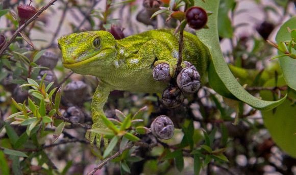 Starred gecko or Nelson green gecko ((Naultinus stellatus). Photographic Society of New Zealand gold winning image taken by DOC's own Phil Melgren ©