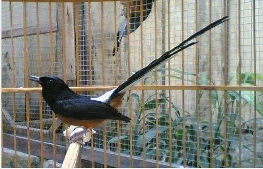 Download Koleksi Suara Burung Murai Batu Medan Sangat Merdu Yang Nantinya Bisa Anda Download Gratis Di Muraisuper Com Suara Kicauan Burung Burung Murai Suara