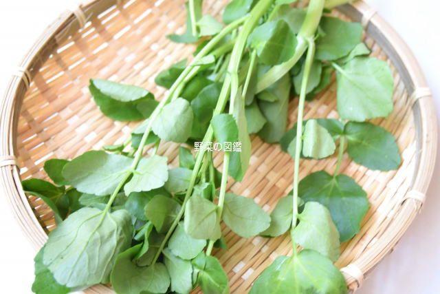 の アブラナ 野菜 科