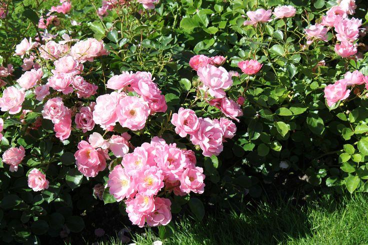 """Muotopuutarhassa on tuhansia ruusuja, useita lajikkeita kuten """"Tellervo"""", """"Astrid Lindgren"""", """"Presidentti Kekkonen"""" ja """"Tarja Halonen"""".  #kultaranta #puutarha #ruusut"""